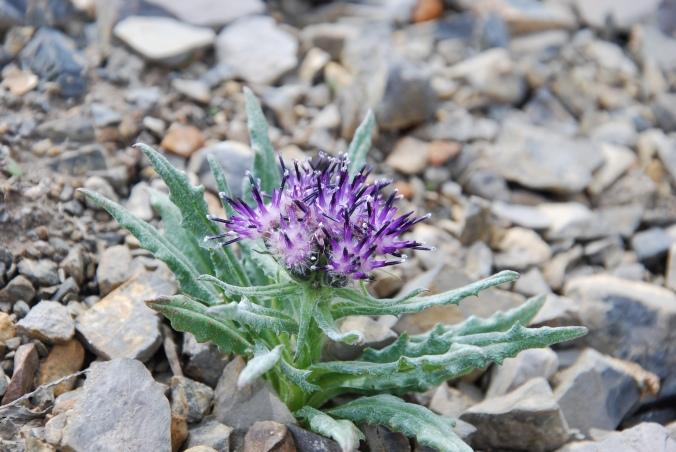 alpine flower, Jasper BC