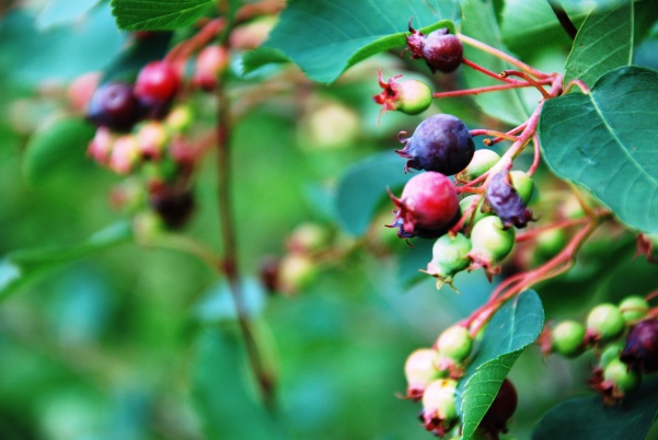 The campsite came complete with Saskatoon berries.
