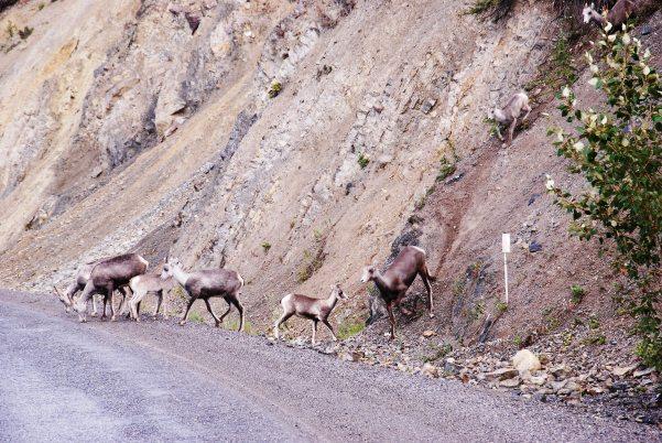 Stone Sheep, BC.